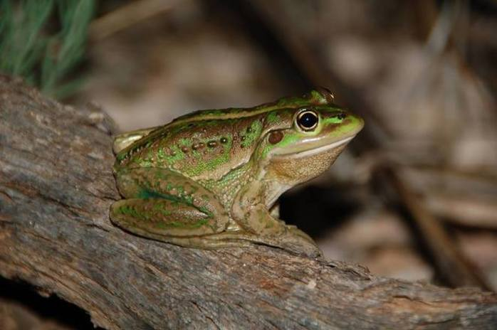 Frogs of the Adelaide Hills